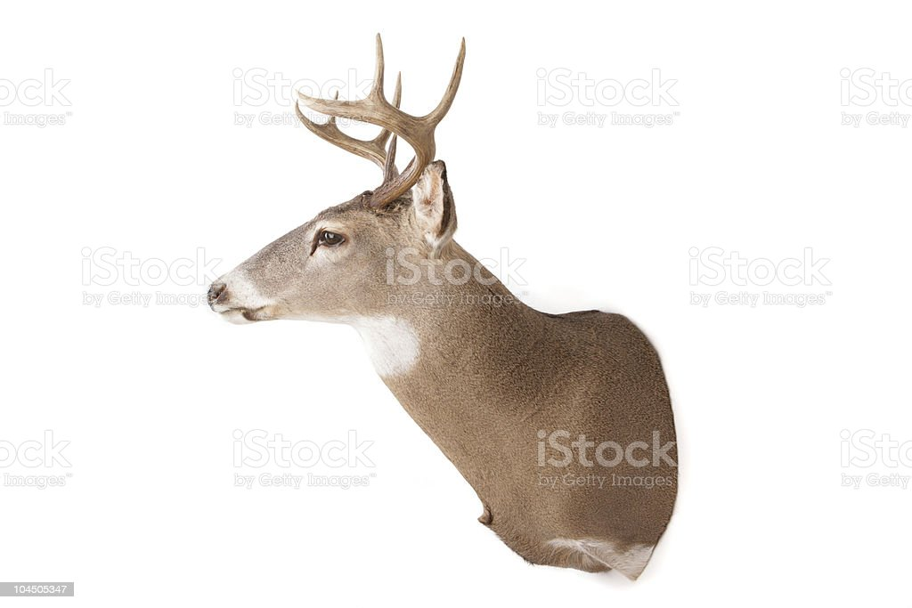 Isolated deer head on a white background royalty-free stock photo