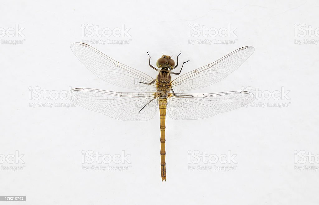 Isolated dragon fly stock photo