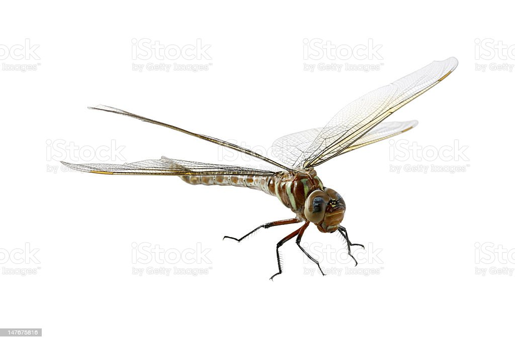 Isolated  Dragonfly Close-up 2 royalty-free stock photo