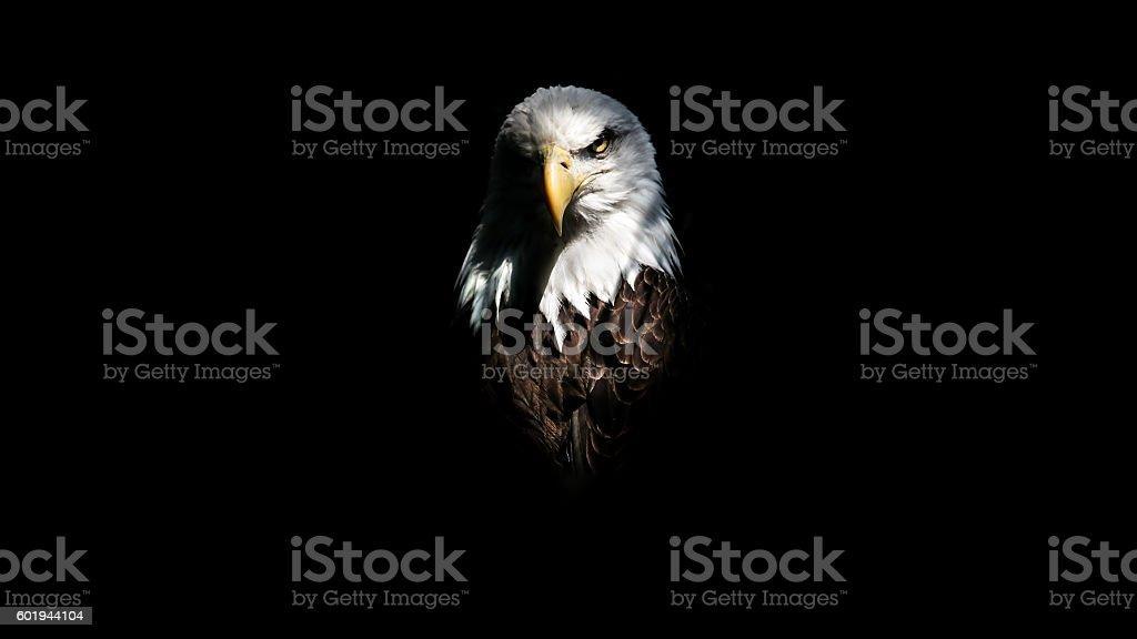 Isolated Eagle Stare stock photo