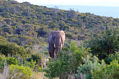 Isolated elephant from South Africa