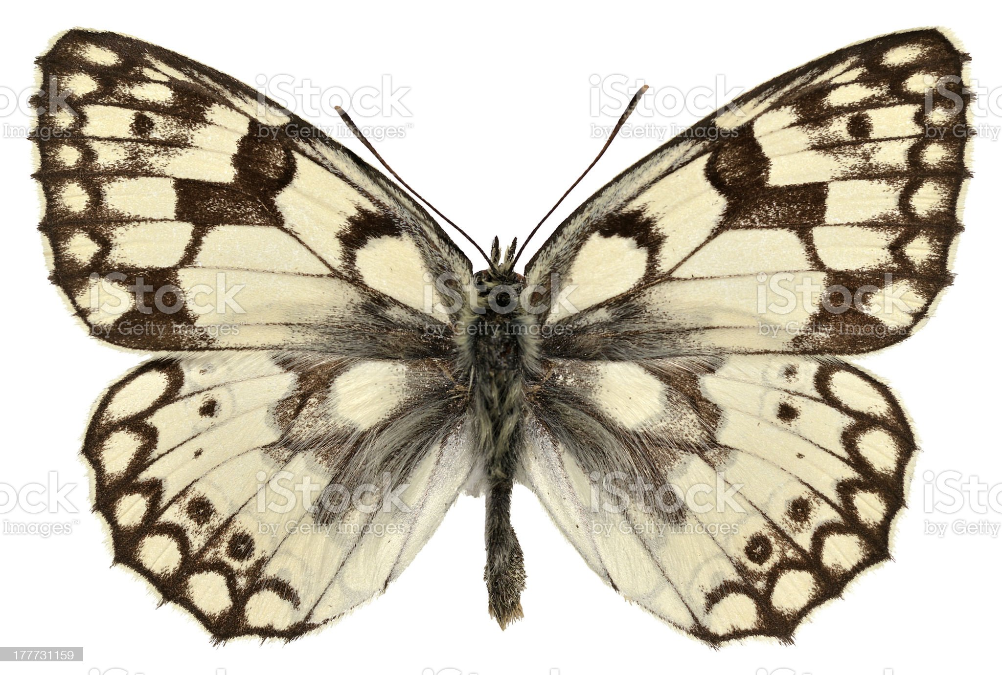 Isolated Esper's Marbled White butterfly royalty-free stock photo