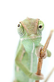Isolated exotic pet green chameleon