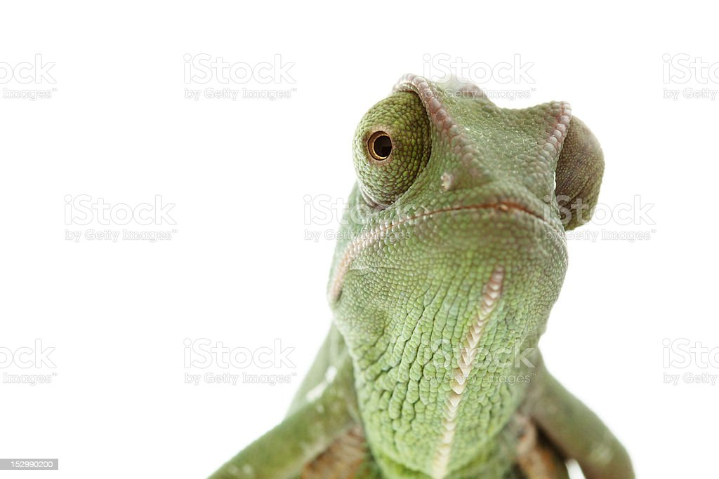 Isolated exotic pet green chameleon stock photo