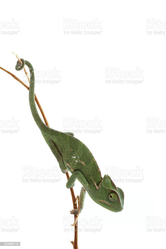 Isolated exotic pet green chameleon stock photo