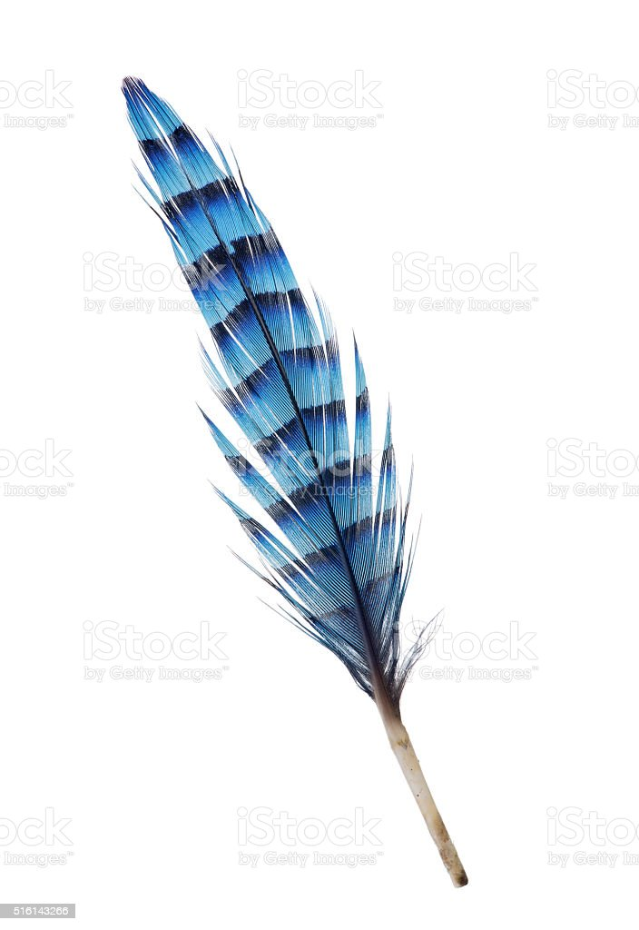 isolated feather with blue stripes stock photo