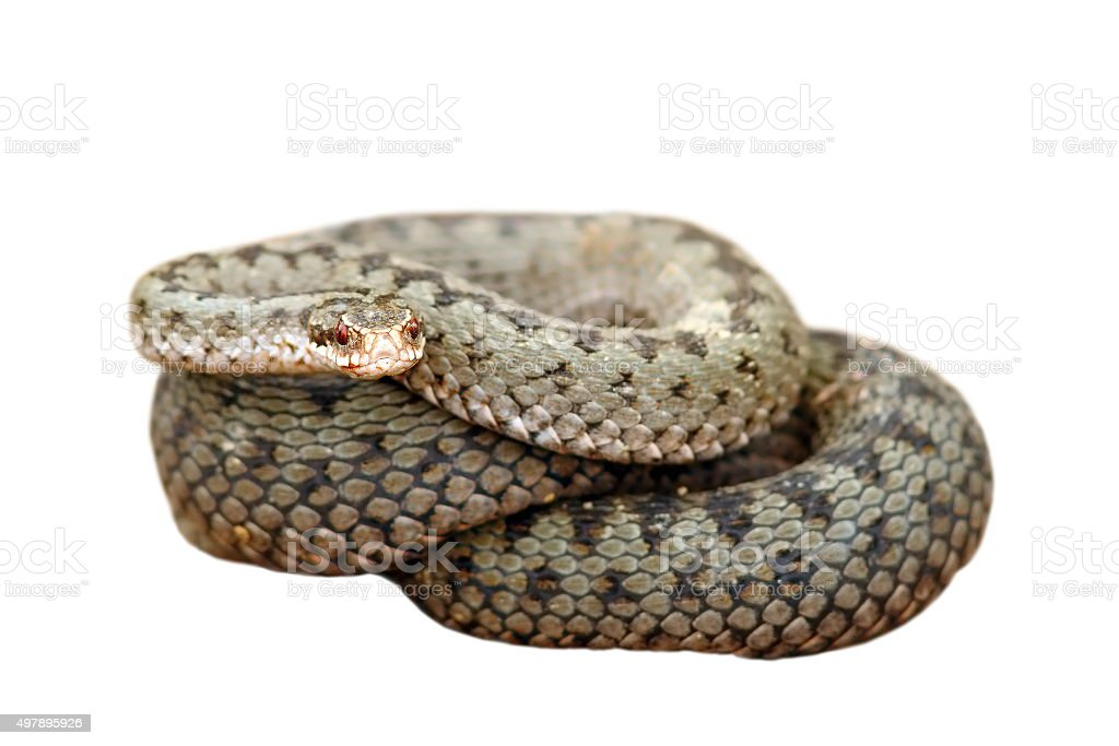 isolated female common european adder stock photo