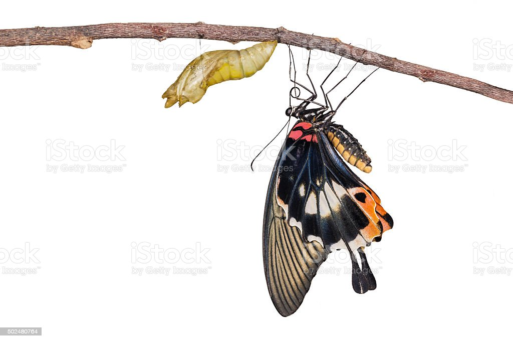Isolated female yellow body Great mormon Butterfly  with cocoon stock photo