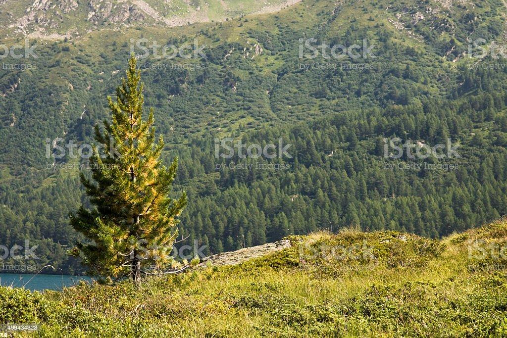 Isolated fir tree stock photo