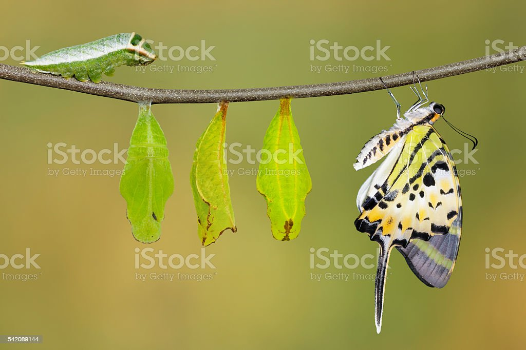 Isolated five bar swordtail butterfly life cycle (antiphates pom stock photo