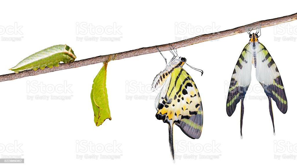 Isolated fivve bar swordtail butterfly life cycle stock photo