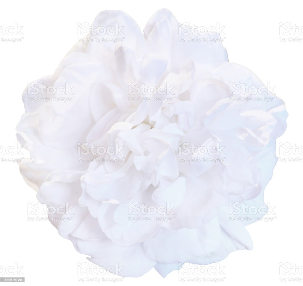 Isolated flower stock photo
