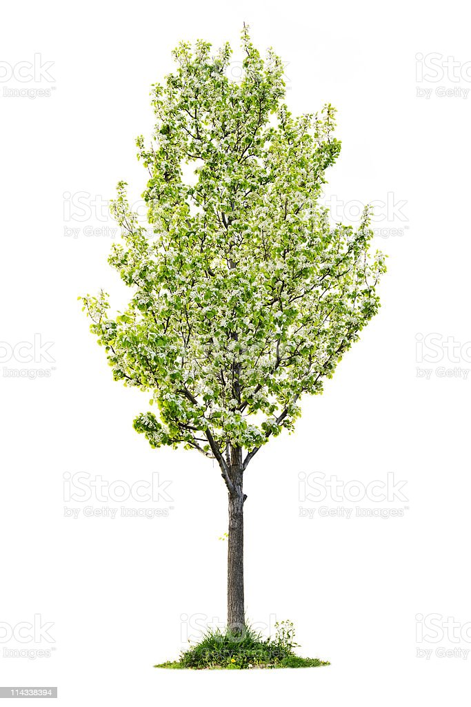 Isolated flowering pear tree royalty-free stock photo