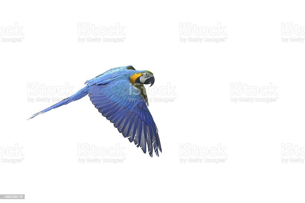 Isolated flying blue-and-yellow Macaw - Ara ararauna stock photo