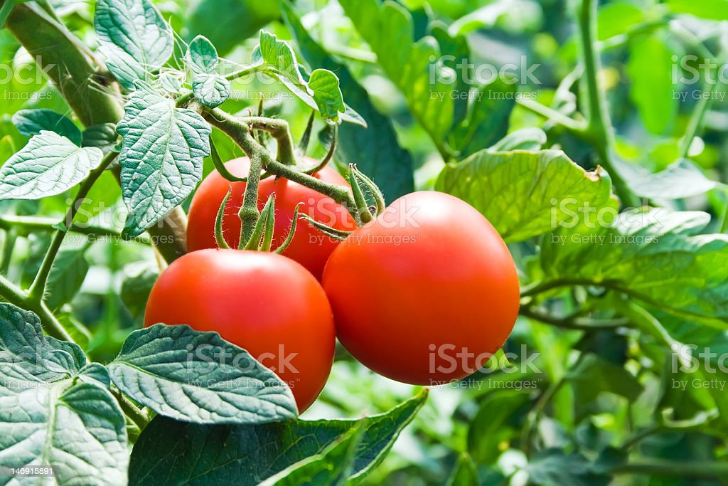Isolated fresh red tomatoes and green leaves stock photo