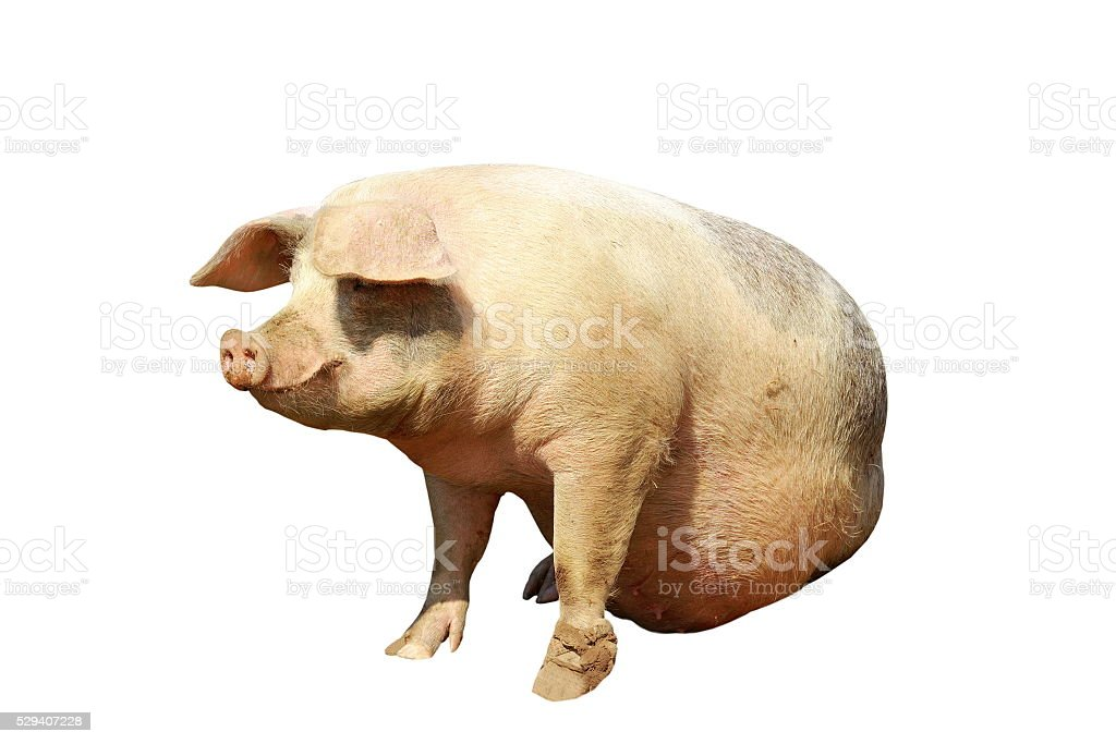 isolated full length domestic pig stock photo