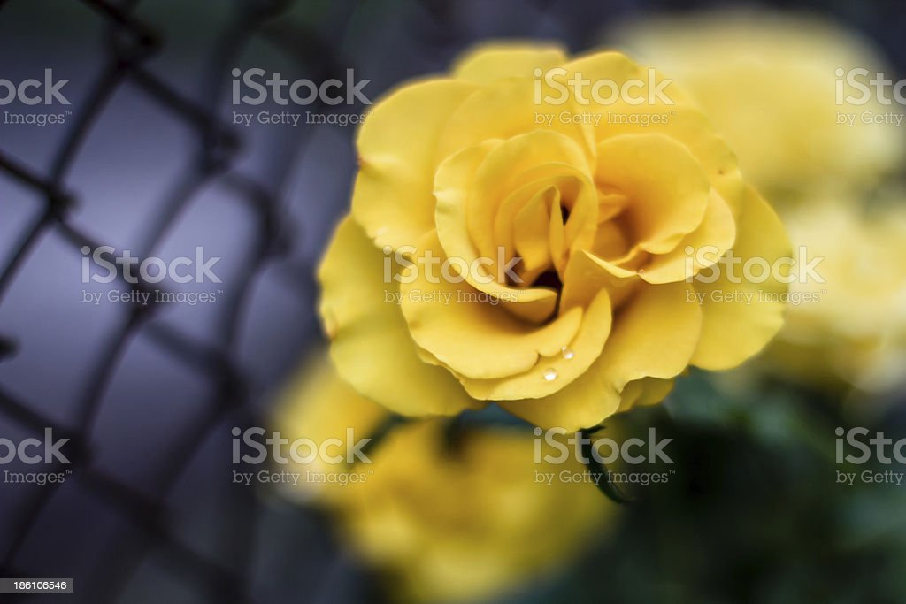 isolated full-blown yellow rose on dark grid background. royalty-free stock photo