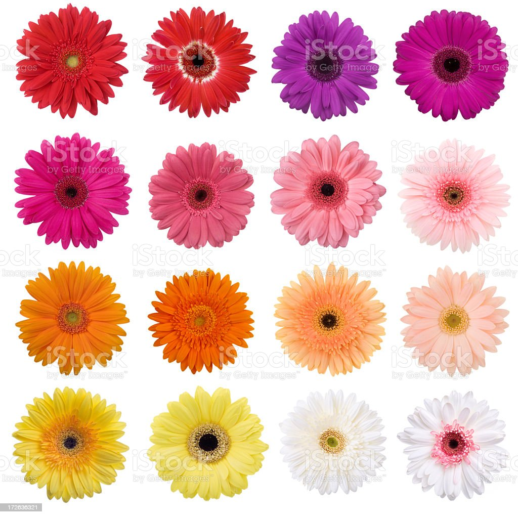 Isolated Gerber Daisy Collection Series royalty-free stock photo