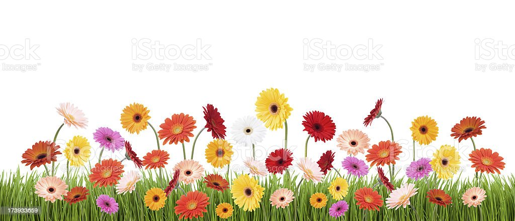 Isolated Gerbera Daisies in Grass royalty-free stock photo