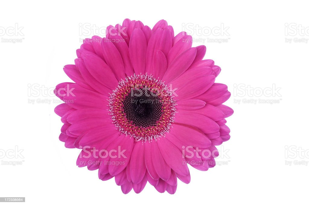 Isolated Gerbera Daisy (XL) stock photo
