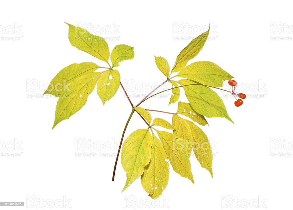 Isolated ginseng plant leaves and berries royalty-free stock photo