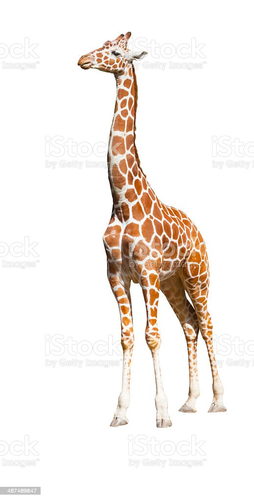 Isolated giraffe stock photo