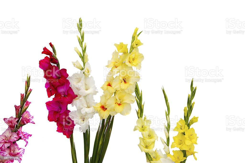 Isolated gladiolus flowers stock photo