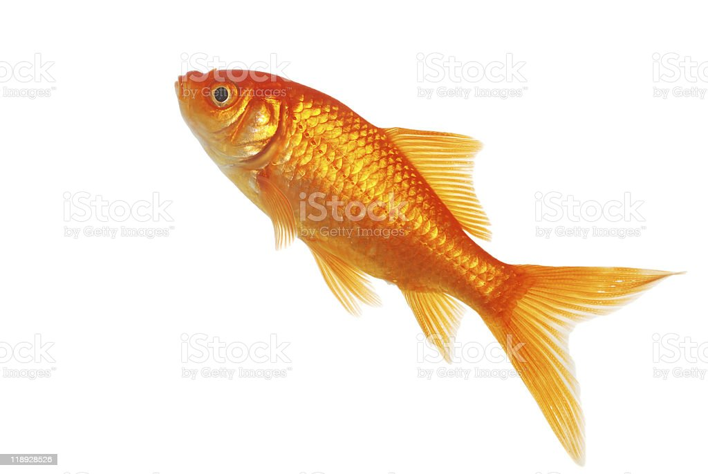 Isolated Gold Fish stock photo