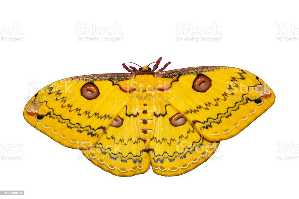 Isolated Golden Emperor Moth stock photo