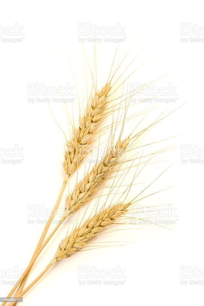 Isolated golden wheat royalty-free stock photo