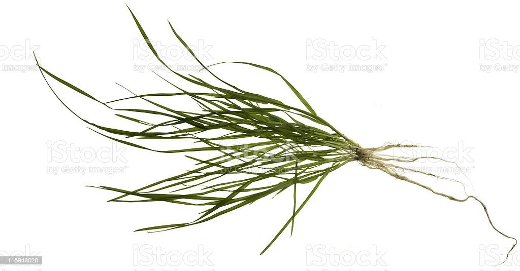 isolated grass plant stock photo