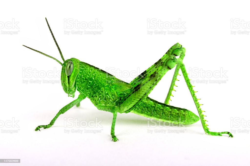 Isolated grasshopper, sideview royalty-free stock photo