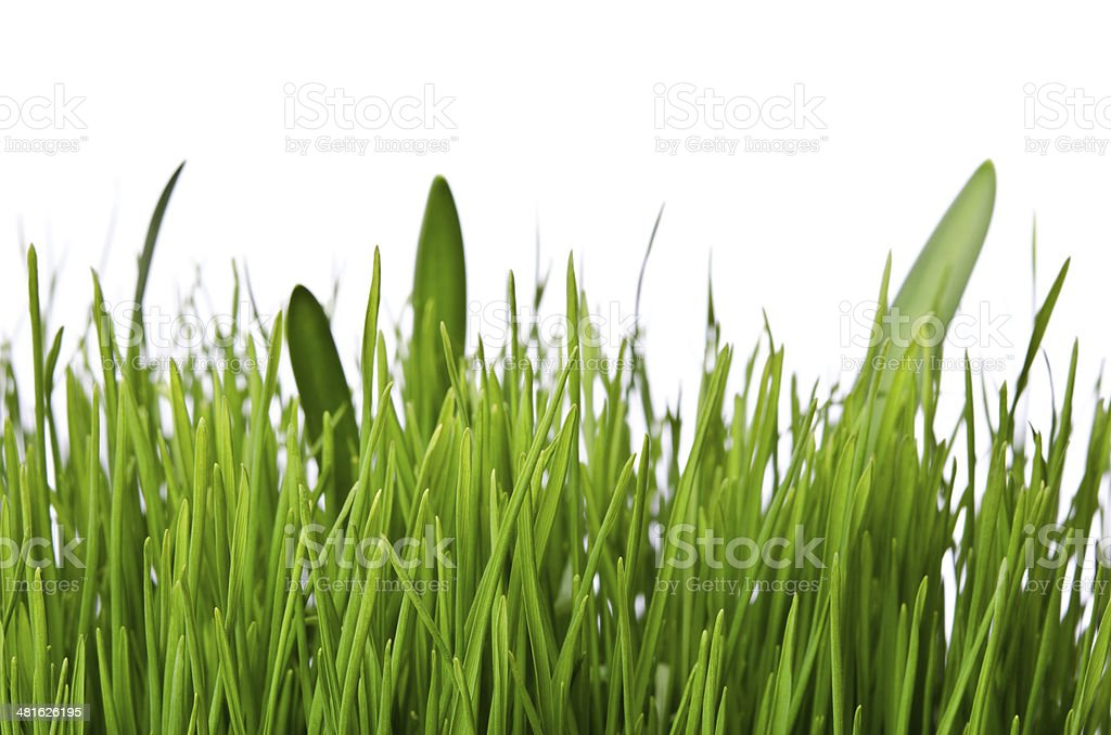 Isolated green grass on white background stock photo