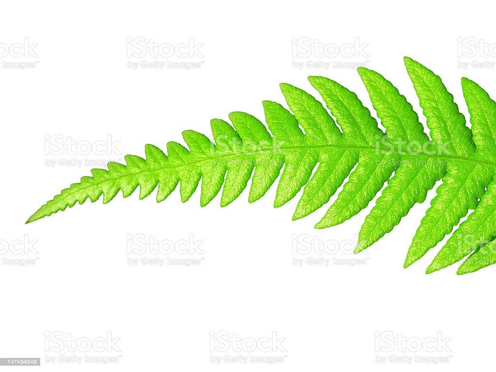 Isolated green leaf stock photo
