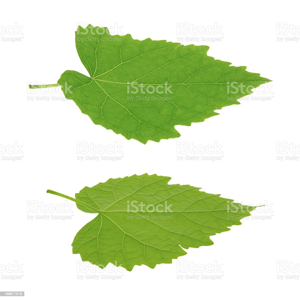 Isolated Green Leaves royalty-free stock photo