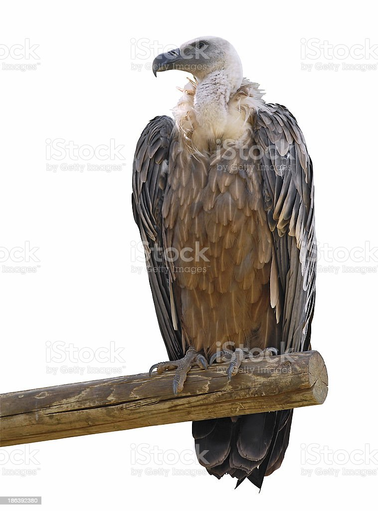 Isolated griffon vulture on branch stock photo