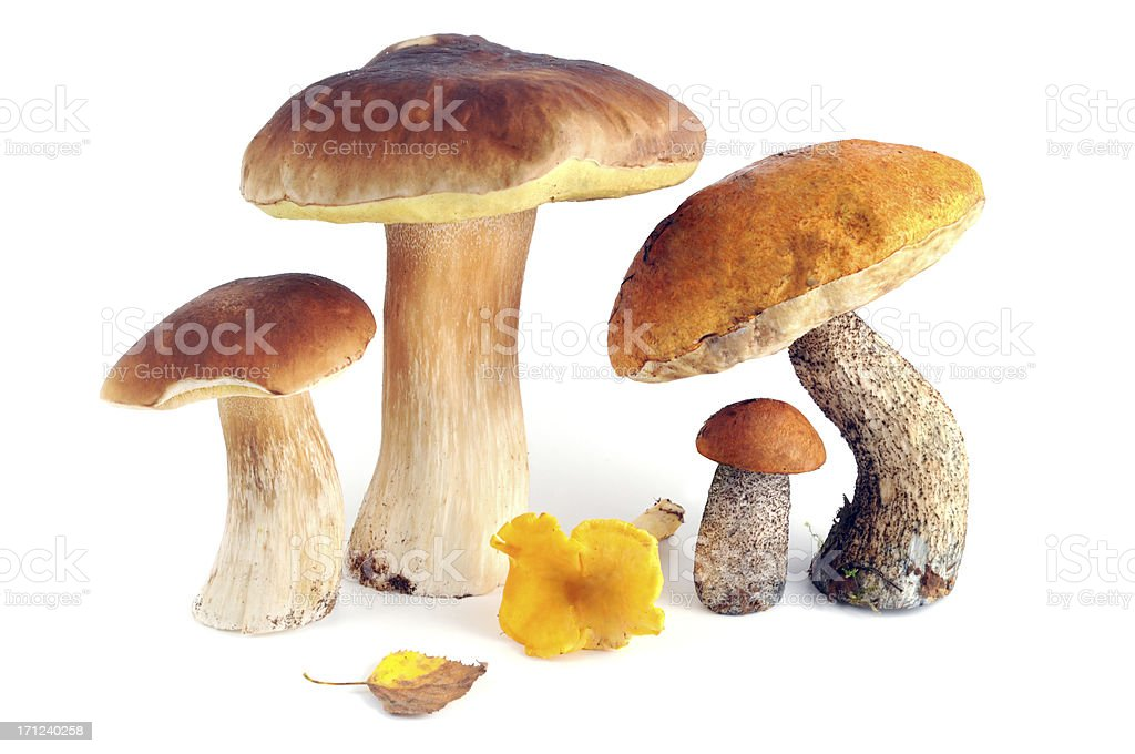 isolated group edible mushrooms Porcini Mushroom and more stock photo