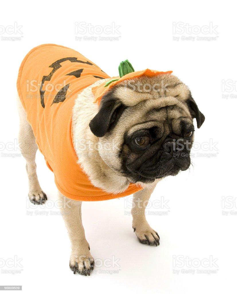 Isolated Halloween Pug stock photo