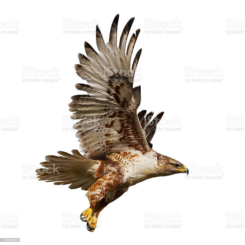 Isolated hawk in flight stock photo
