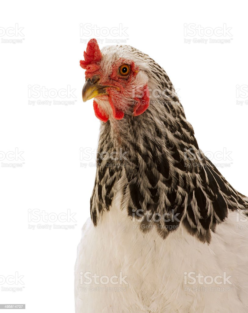 Isolated head and upper torso Silver-laced Wyandotte chicken hen stock photo