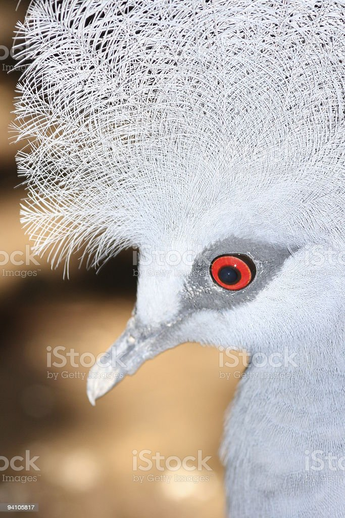 Isolated head of a Crowned Pigeon stock photo
