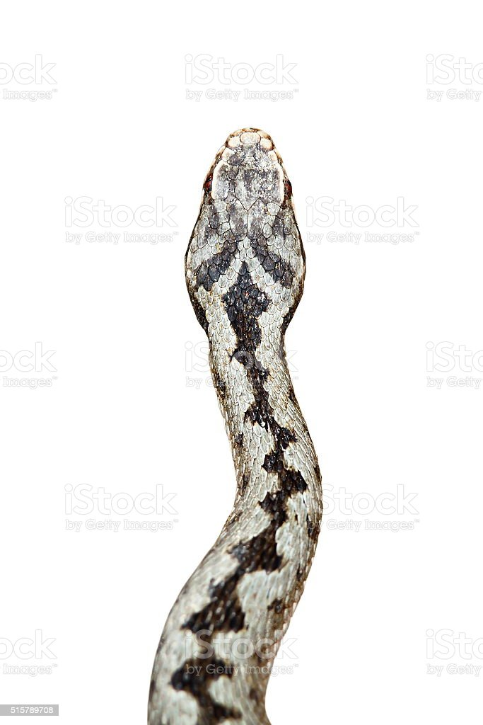 isolated head of vipera berus stock photo