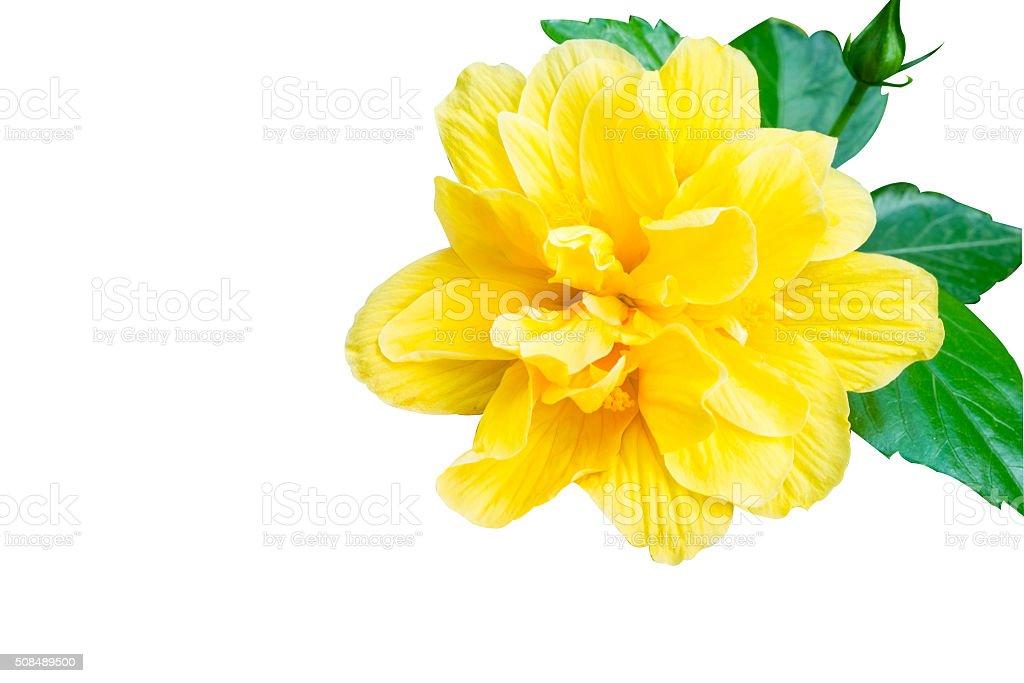 Isolierte Hibiskus, gelbe Blume auf Weißer Hintergrund Lizenzfreies stock-foto