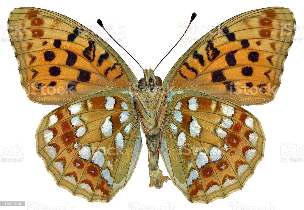 Isolated High Brown Fritillary butterfly stock photo