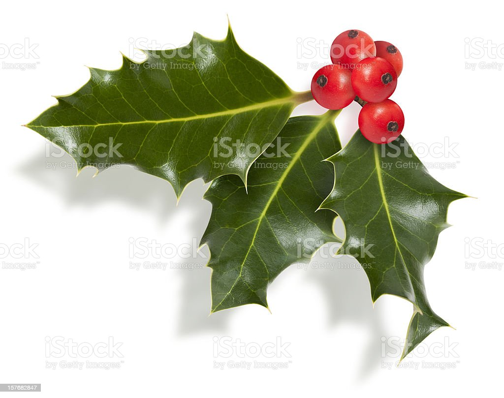 Isolated Holly Twig royalty-free stock photo