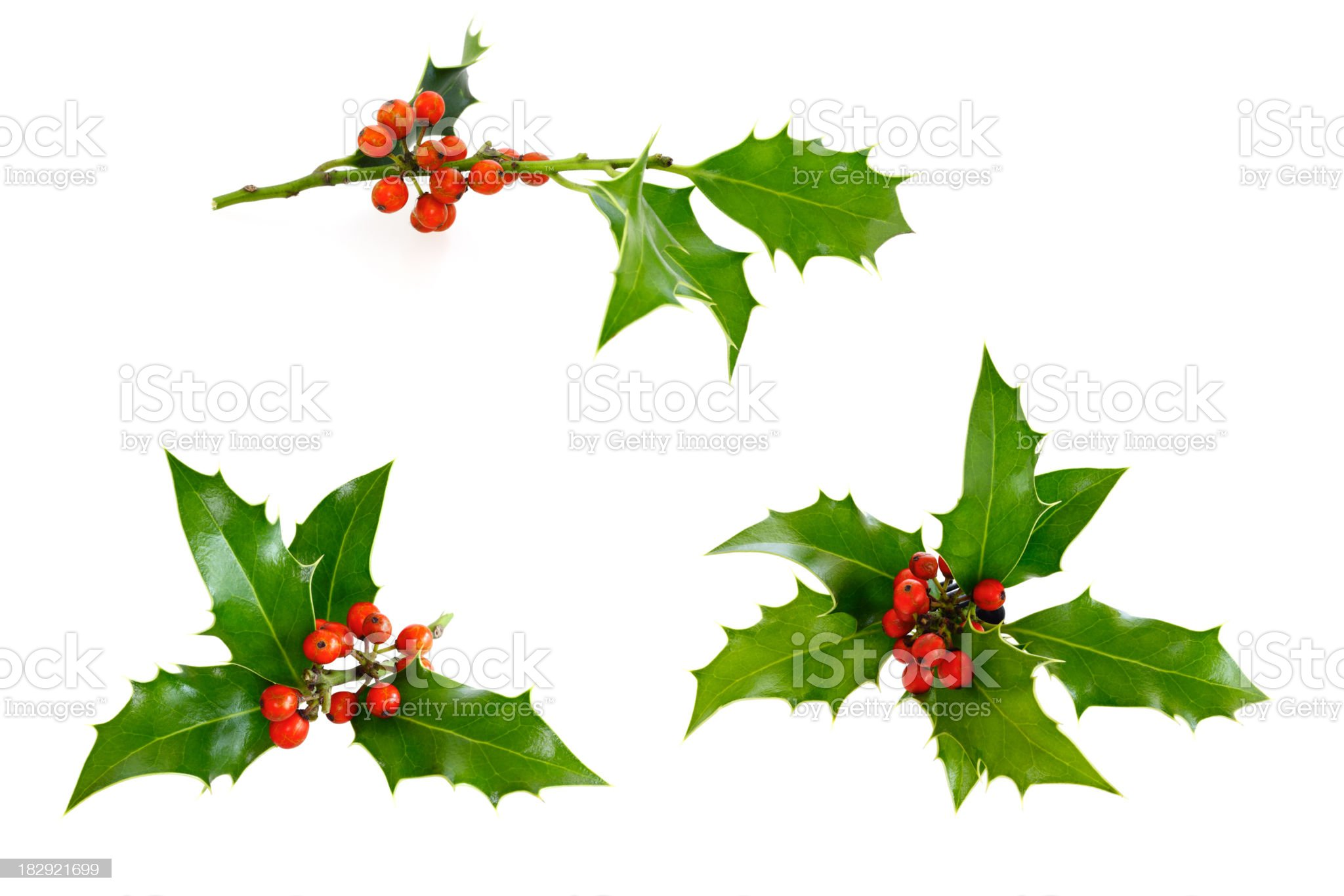 Isolated Holly Twig Selection royalty-free stock photo