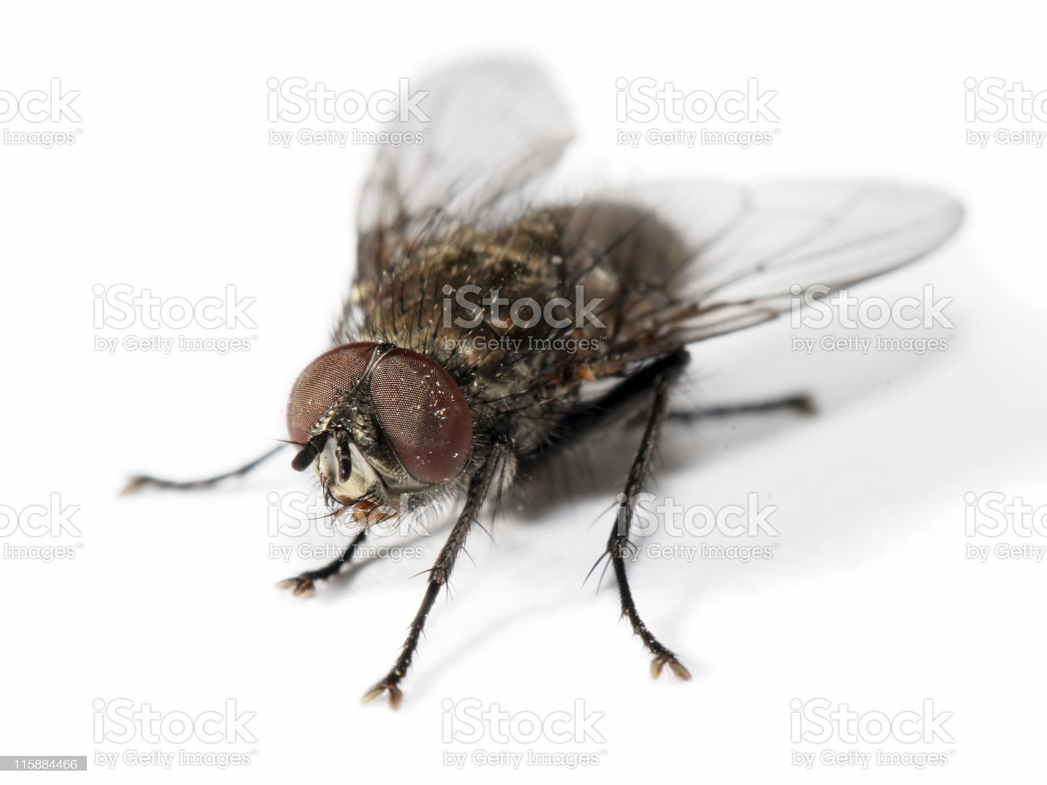 Isolated homefly 4 royalty-free stock photo