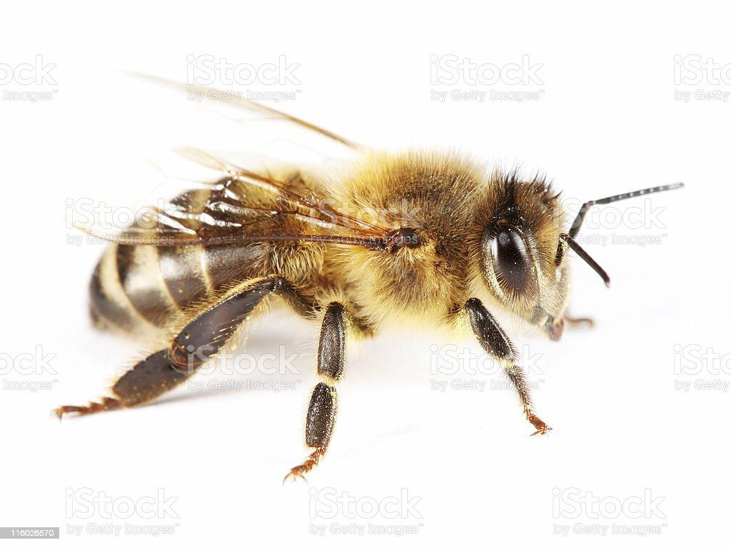Isolated honeybee 01 royalty-free stock photo