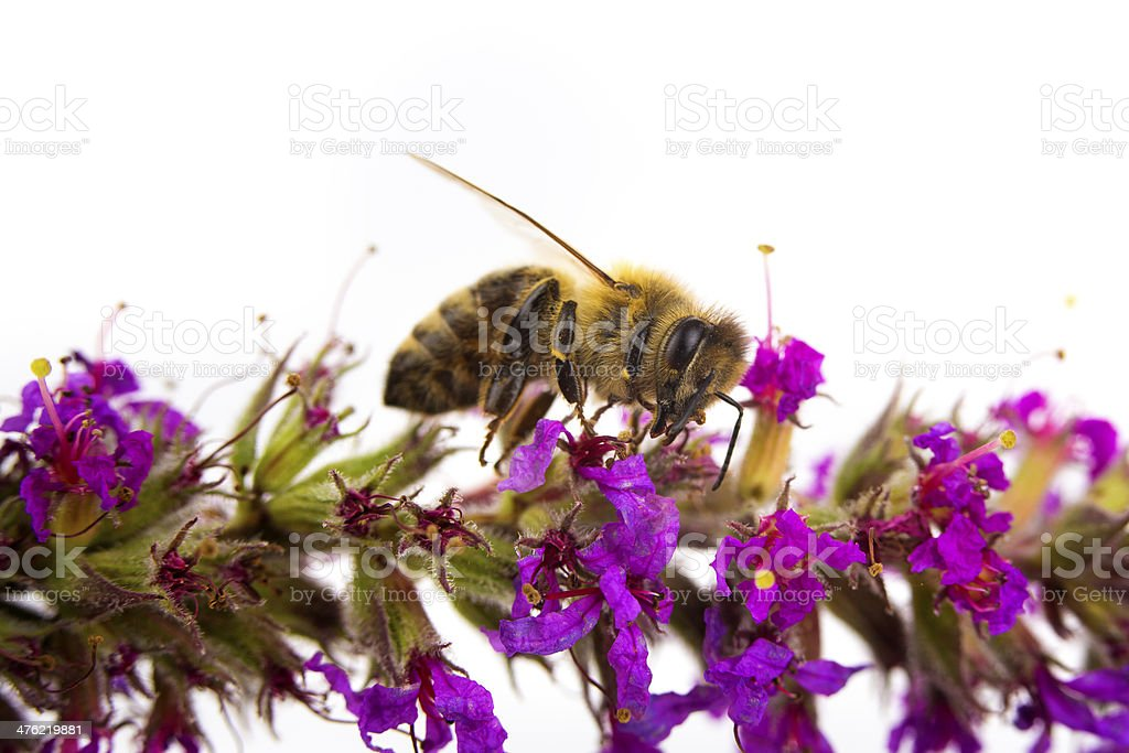 Isolated honeybee collecting honey royalty-free stock photo