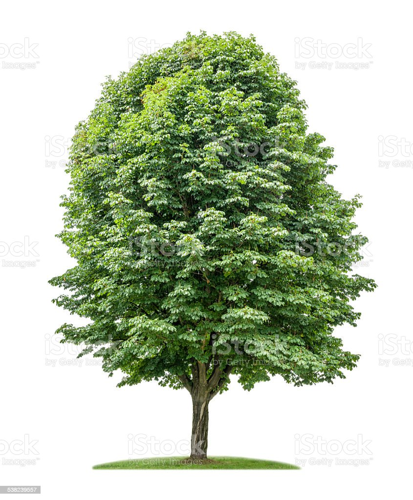 isolated horse chestnut tree on a white background stock photo